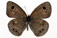灰色漂亮的蝴蝶图片