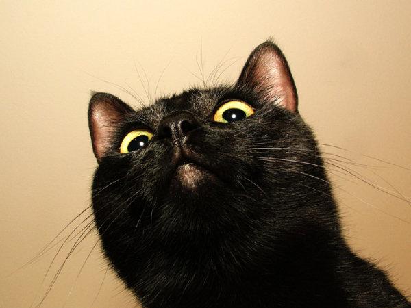 仰视黑猫图片,猫,黑猫,大眼镜,惊恐,仰视,眼神,可爱,宠物,动物