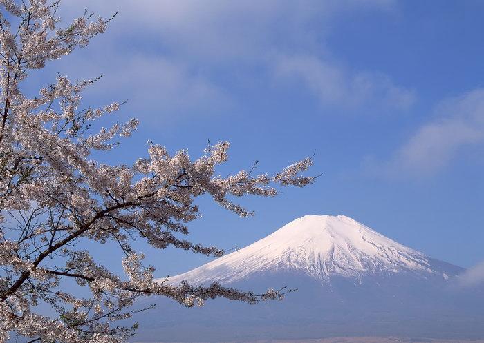 富士山樱花图片,日本富士山,雪山风景,山水,摄影,风景,2950x2094像素