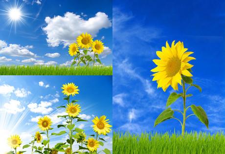 绿草,草坪,白云,阳光,蓝天与向日葵,白云,光线,草坪,向日葵,太阳,蓝天