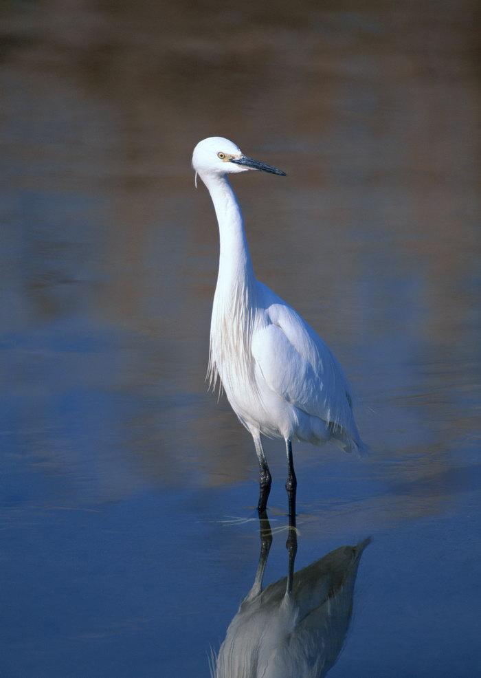 水中白鹭图片,水中白鹭,飞行鸟类动物,摄影,动物,2094x2950像素