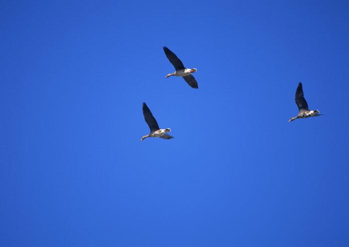 大雁图片,大雁,飞行鸟类动物,摄影,动物,2094x2950像素