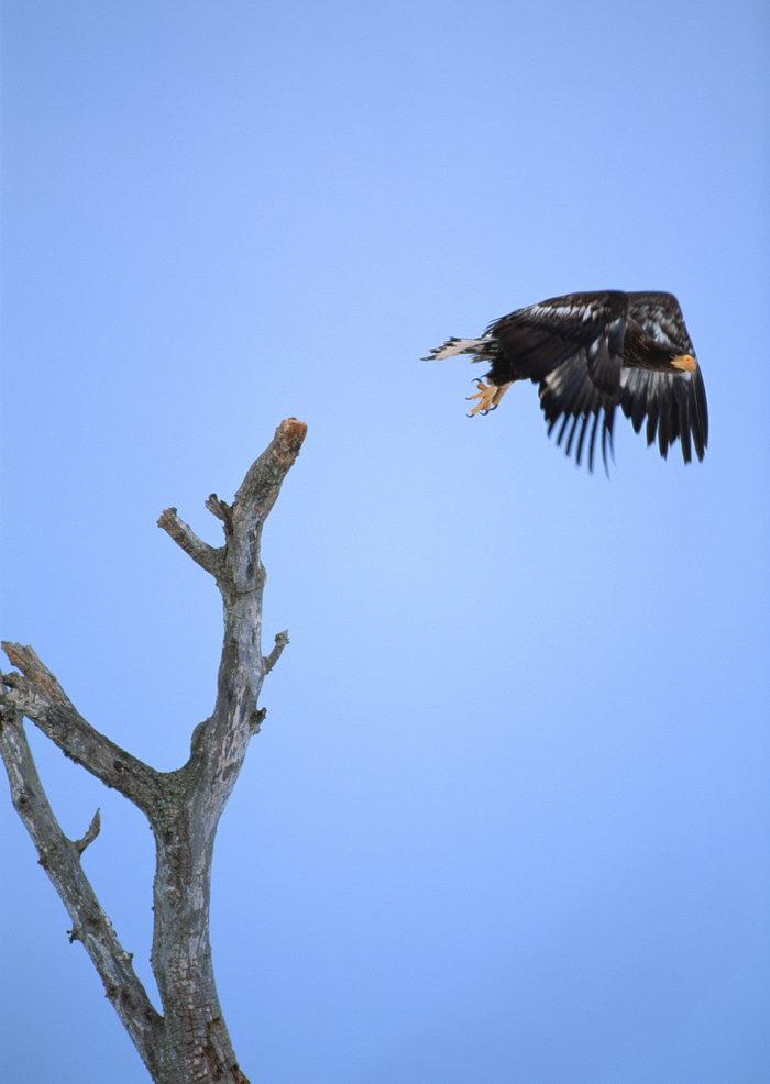 老鹰图片,老鹰,飞行鸟类动物,摄影,动物,2094x2950像素