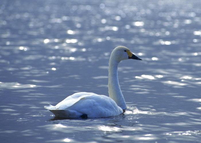 白天鹅湖水图片,白天鹅,湖水飞行鸟类动物,摄影,动物,2094x2950像素
