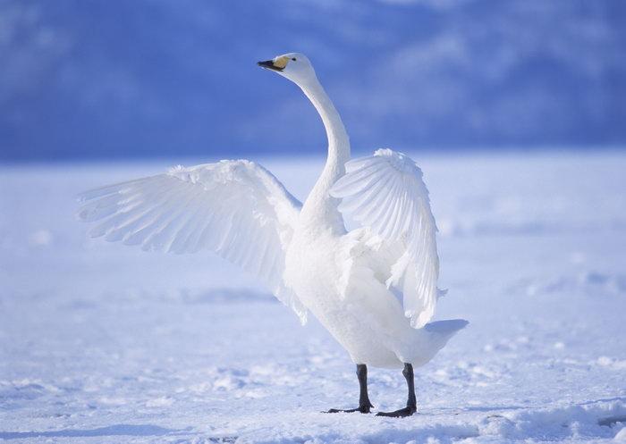 展翅的白天鹅冰湖图片,展翅的白天鹅,冰湖飞行鸟类动物,摄影,动物,209