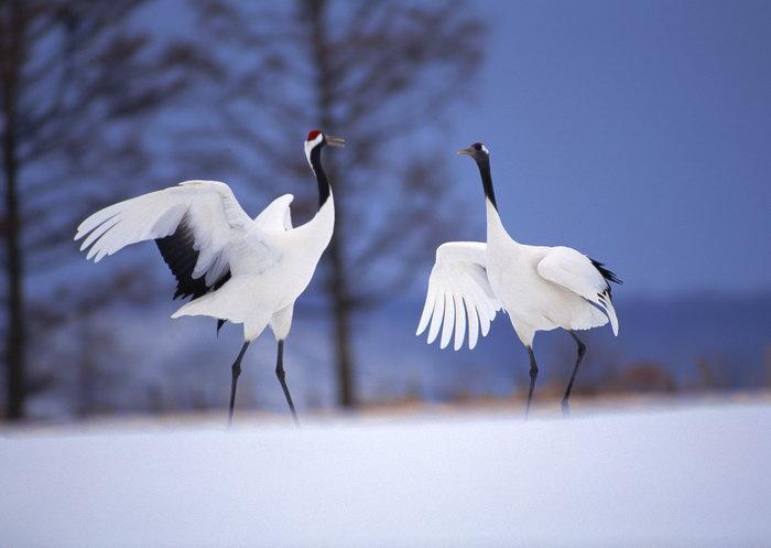 丹顶鹤雪地图片,丹顶鹤,雪地飞行鸟类动物,摄影,动物,2094x2950像素