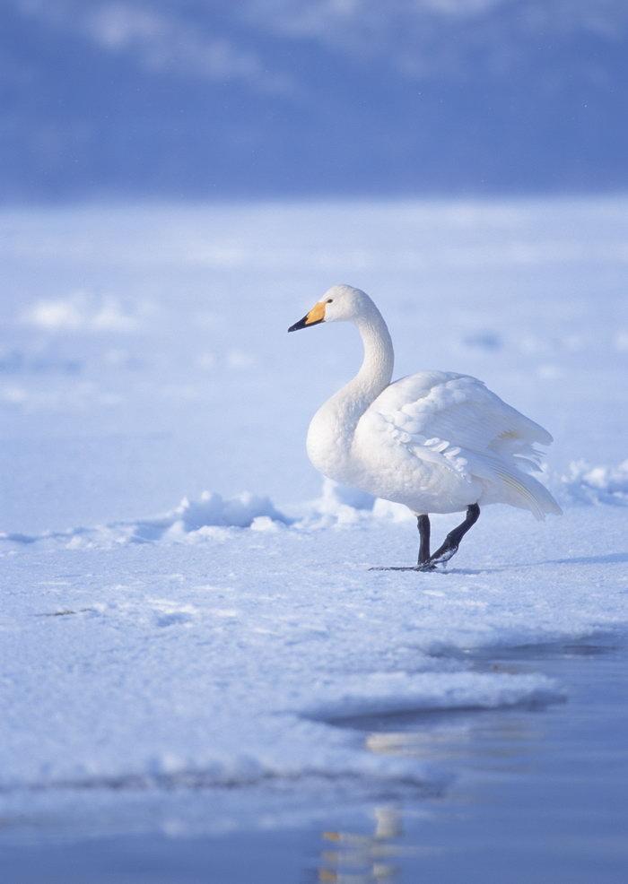 白天鹅冰湖图片,白天鹅,冰湖飞行鸟类动物,摄影,动物,2094x2950像素