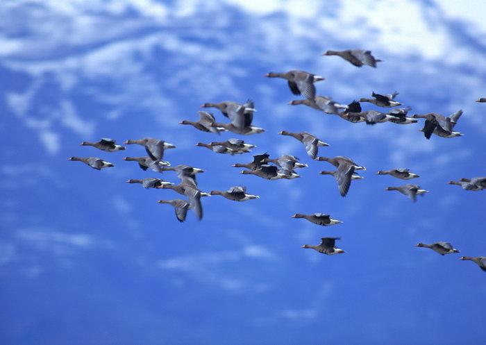 飞翔的大雁图片-素彩图片大全