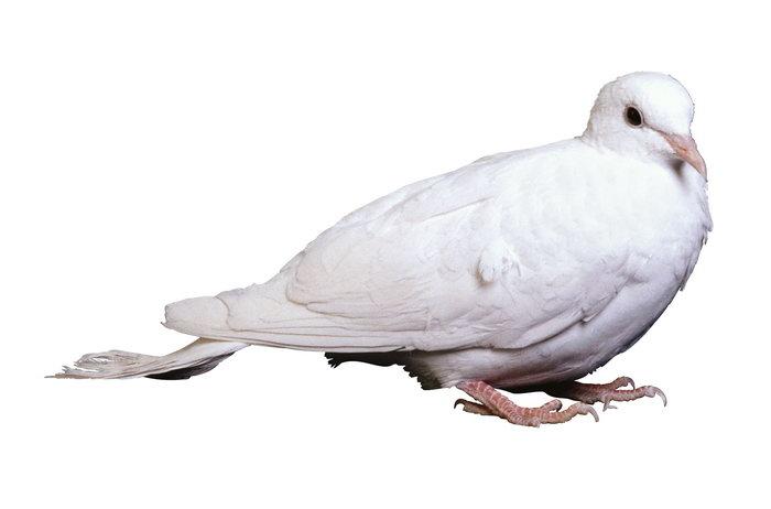 动物 鸽 鸽子 鸟 鸟类