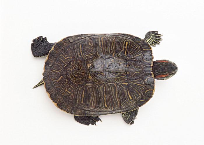 乌龟图片-素彩图片大全