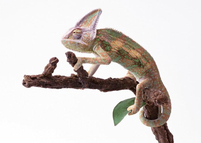 变色龙图片,变色龙,蜥蜴,爬行动物,摄影动物,2094x2950像素