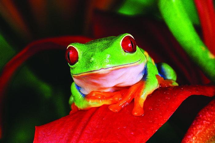 青蛙动物图片-素彩图片大全