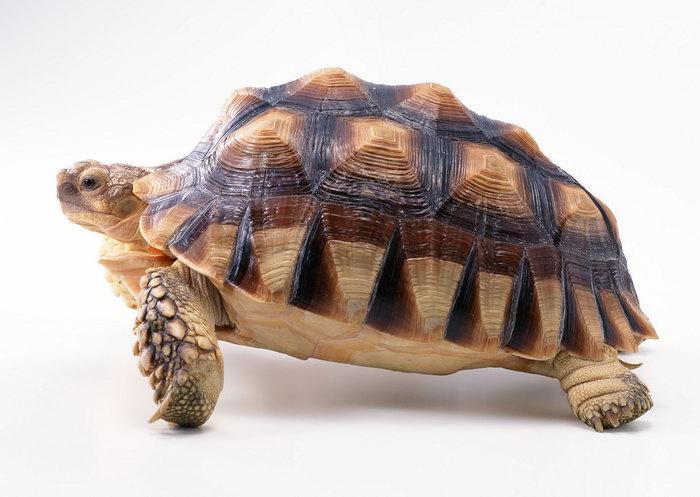 乌龟的品种 图片及介绍
