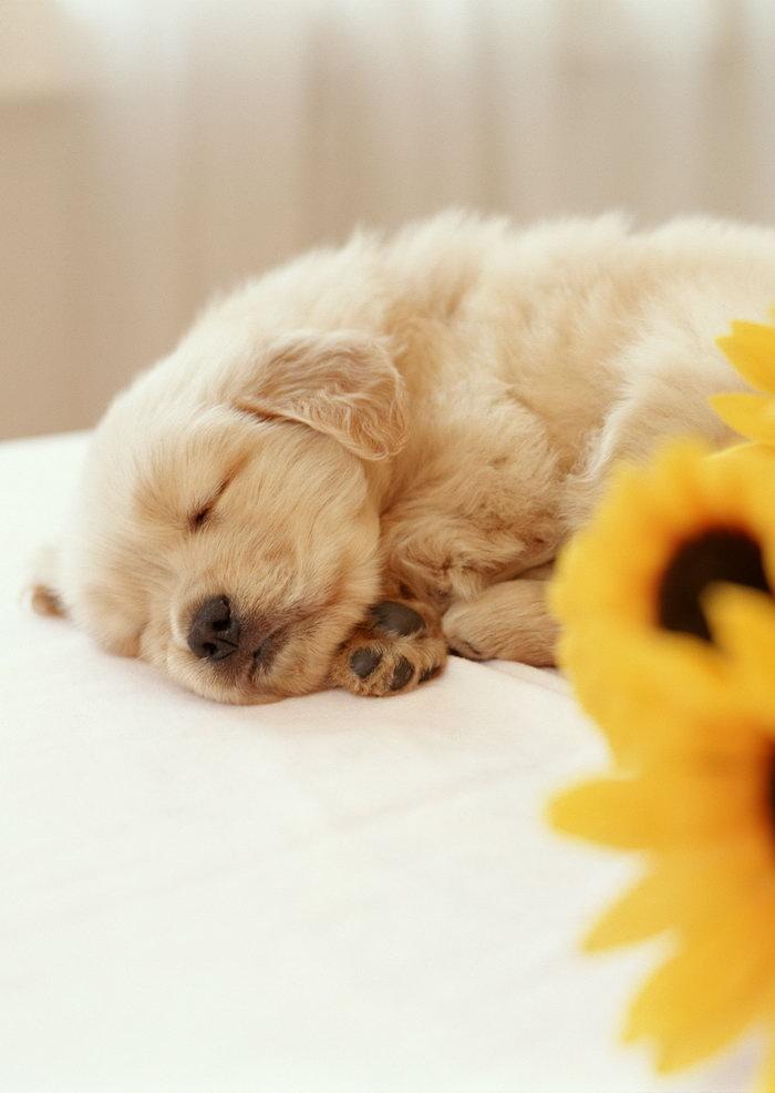 趴着睡觉的小狗图片