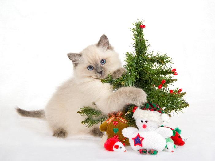 小猫与圣诞节图片