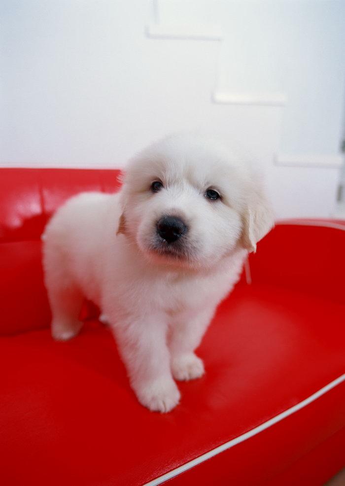 白色短毛小狗图片-素彩图片大全