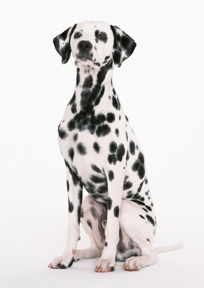 斑点狗图片,斑点狗,猫狗,摄影,动物,2094x2950像素