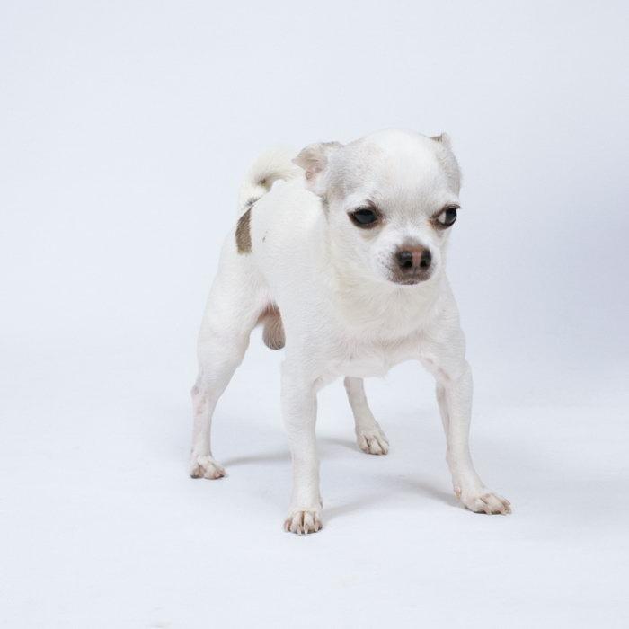 一只小白狗图片