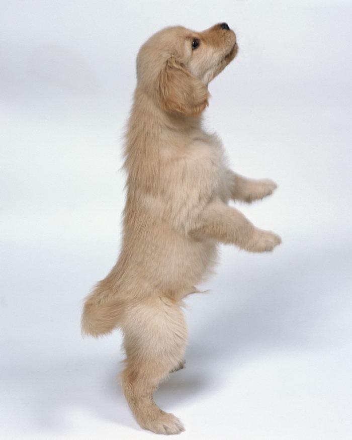 站立的小狗图片,站立的小狗,猫狗,动物,3280x4100像素
