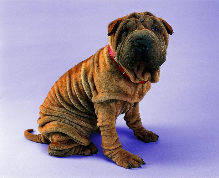 皱皮狗图片,皱皮狗,猫狗,动物,4100x4100像素