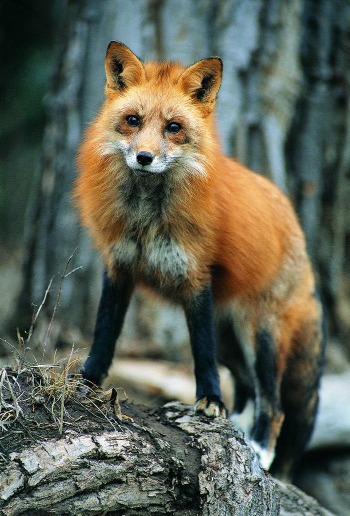 狐狸图片-素彩图片大全