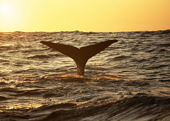 鲸鱼尾巴图片-素彩图片大全