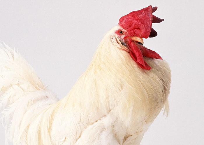 公鸡图片-素彩图片大全