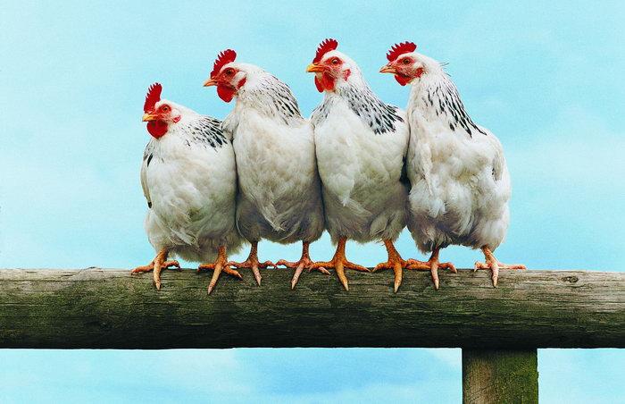 一群公鸡图片,一群公鸡,公鸡,家禽,家畜,动物,2448x1580像素