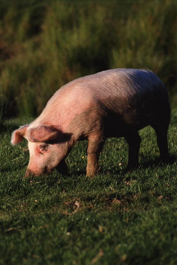 可爱的小猪图片