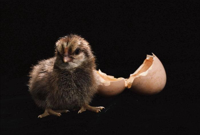 小鸡与鸡蛋壳图片