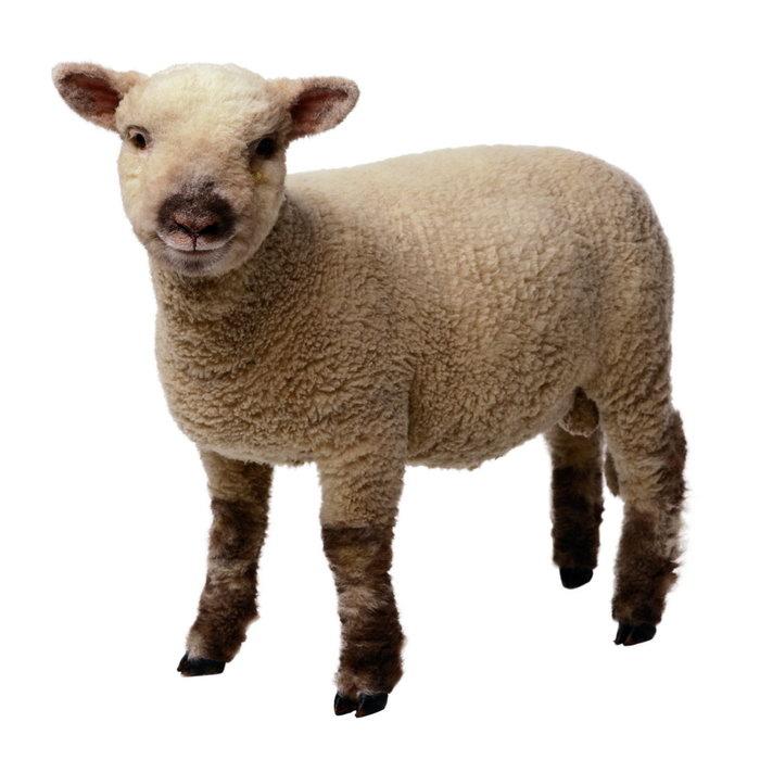 小绵羊图片-素彩图片大全