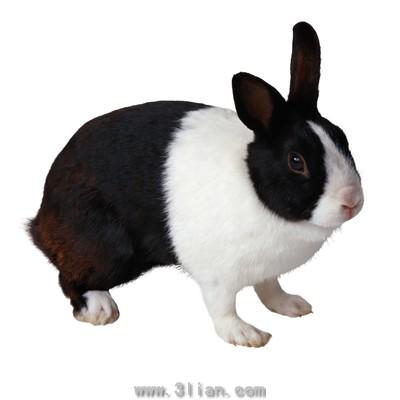 黑色的兔子图片-素彩图片大全
