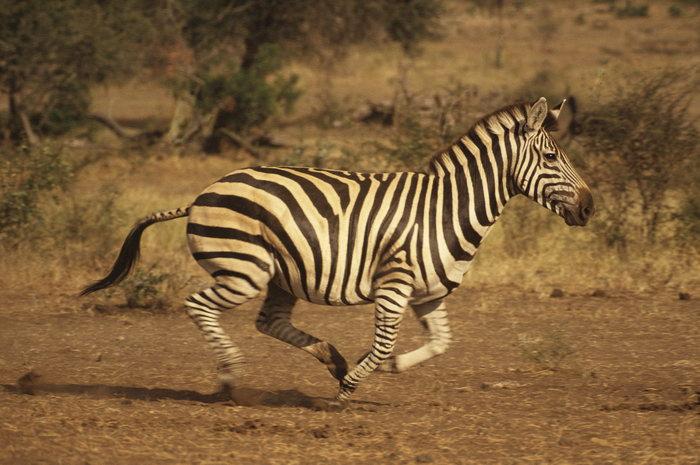 奔跑的斑马图片