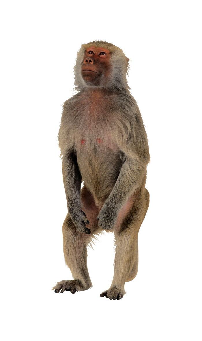 猴子手机背景可爱