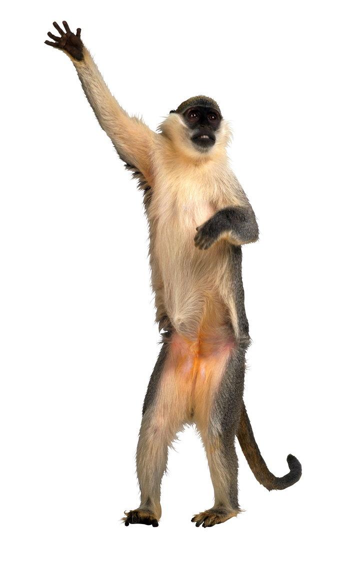 猴子图片,猴子,野生动物,摄影,动物,2481x4014像素