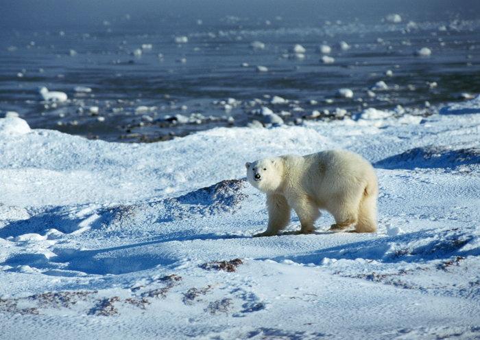 雪地北极熊图片,雪地北极熊,冰天雪地,野生动物,摄影,动物,3508x2480