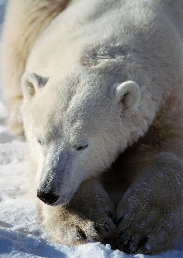 北极熊图片,北极熊,冰天雪地,野生动物,摄影,动物,3508x2480像素