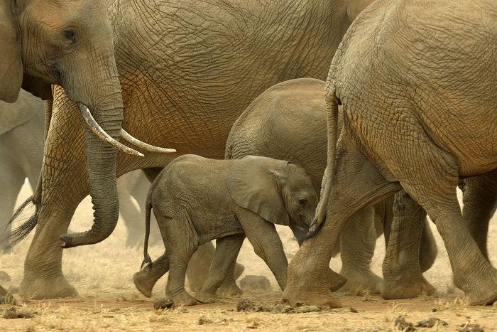 非洲大象图片,非洲大象,野生动物,摄影,动物,3000x2000像素