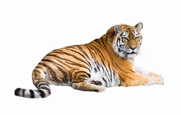 老虎图片-素彩图片大全
