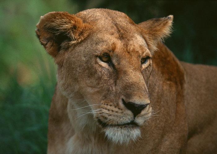 狮子图片-素彩图片大全