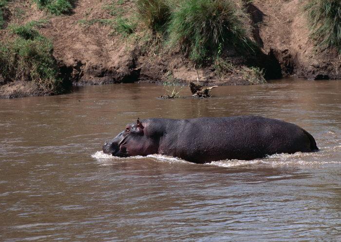 河马图片,河马,野生动物,摄影,动物,2950x2094像素