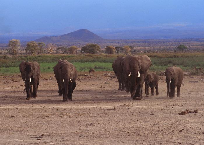 大象群图片,大象群动物