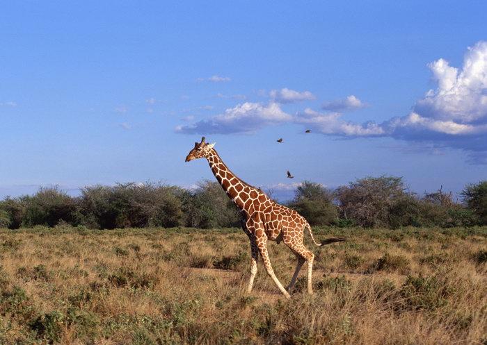 长颈鹿原始森林大草原图片