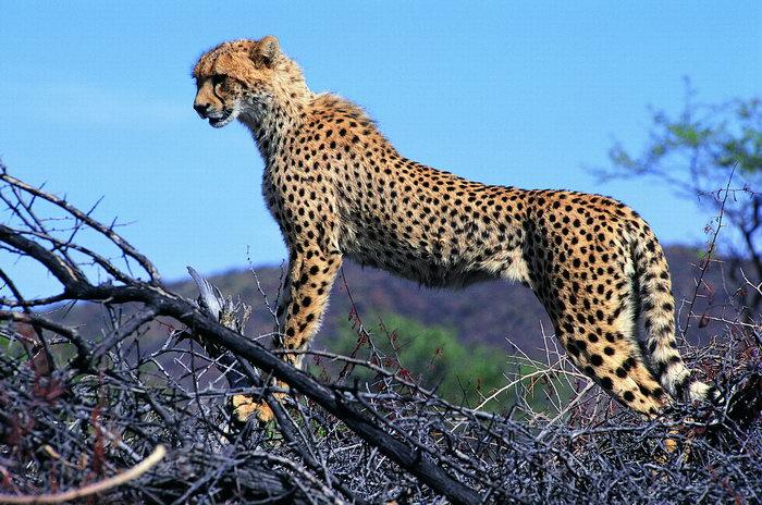 豹子图片-素彩图片大全