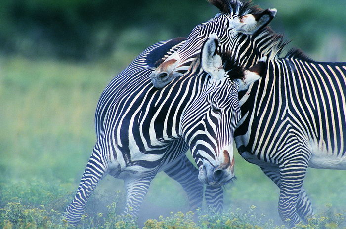 动物斑马图片-素彩图片大全