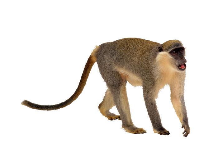 猴子图片,动物,猴子,3702x2693像素