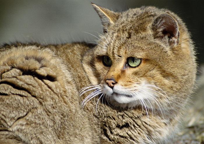 动物猎豹图片