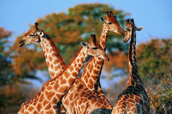 动物长颈鹿图片-素彩图片大全
