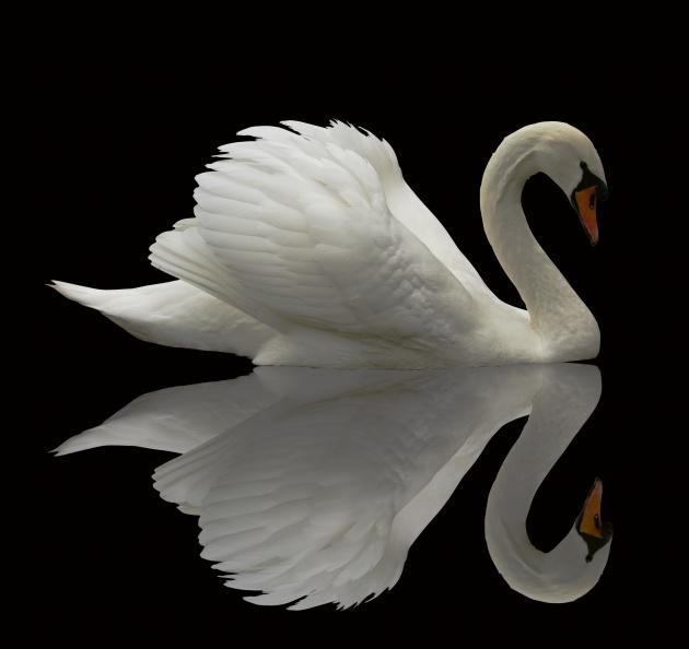 白天鹅图片,动物图片,家禽图片,白天鹅,清水,倒影,家禽