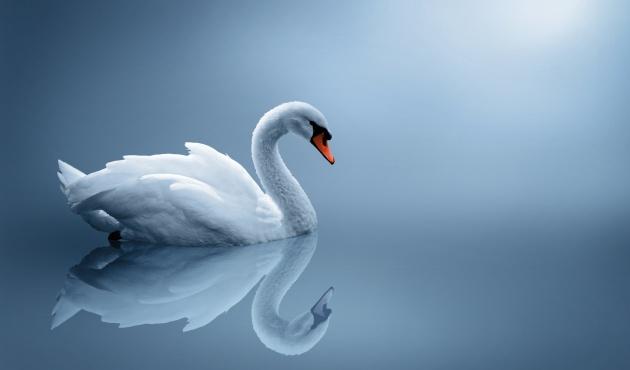 白天鹅图片,动物图片,家禽图片,白天鹅,生物世界,家禽,鸟类,摄影